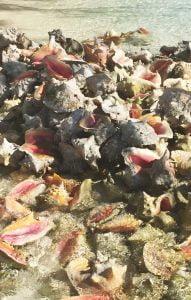 Conch Shells on the beach, Caribbean
