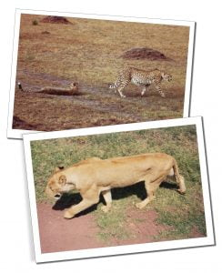 Big Cats on the Serengeti National Park, Tanzania - Feb 1992