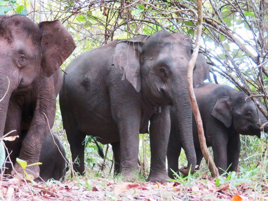 Pygmy Elephants, Kinabatangan River, Borneo jungle