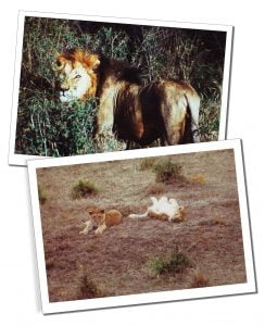 Lions on the Serengeti National Park, Tanzania - Feb 1992
