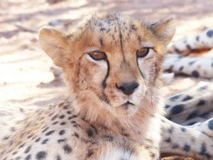 Young Cheetah, N/a'ankuse, Namibia, Africa