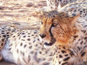 Cheetah, N/a'ankuse, Namibia, Africa.
