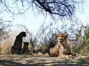 Cheetah Walk, Na'ankuse, Namibia