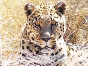 A Leopard, N/a'ankuse, Namibia, Africa.