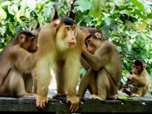 Long-tailed Macaques, Sepilok, Borneo