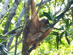 Orang Utan, Shangrila, Borneo