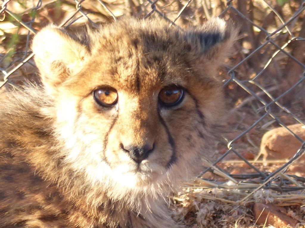 Young cheetah, Na