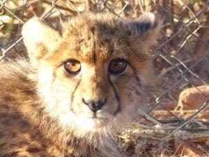 Young cheetah, Na'ankuse, Namibia