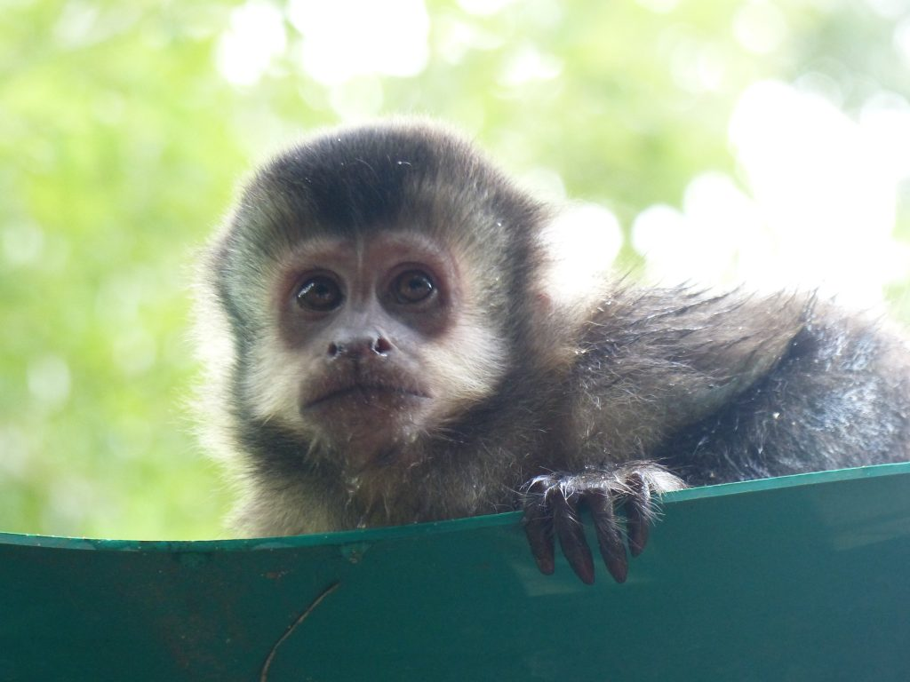 Mono Monkeys, Iguazu Falls, Argentina
