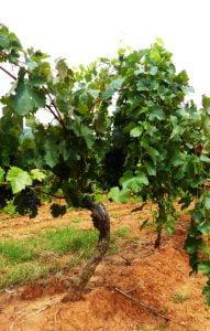 Tyrells vines, Hunter Valley, Australia