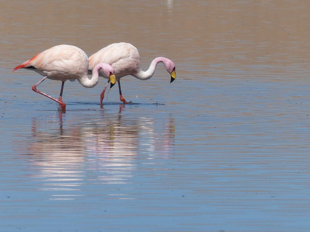 Flamingoes, Bolivia