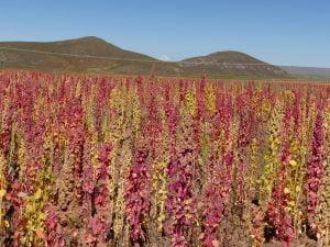 Quinoa, Bolivia