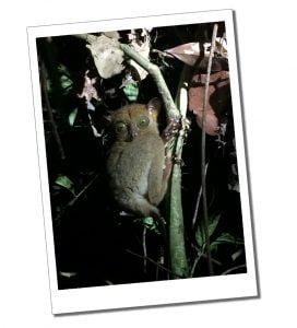A wide eyed Tarsier, in the primary rainforest of Danum Valley, Borneo