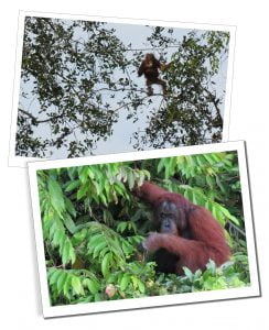 Wild Orangutans in the trees near Kinabatangan River, Borneo