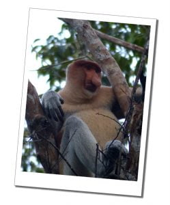 Probosckis Monkey in the trees at Shangrila, Borneo