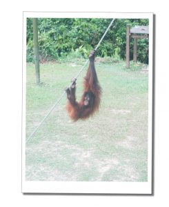 A young Orang-utan swings on a rope at Sepilok Sanctuary, In Borneo