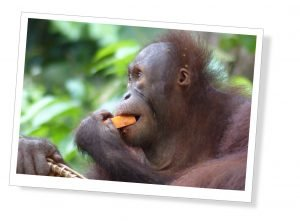 A young Orang-utan eats a piece of Orange at Sepilok Sanctuary, In Borneo
