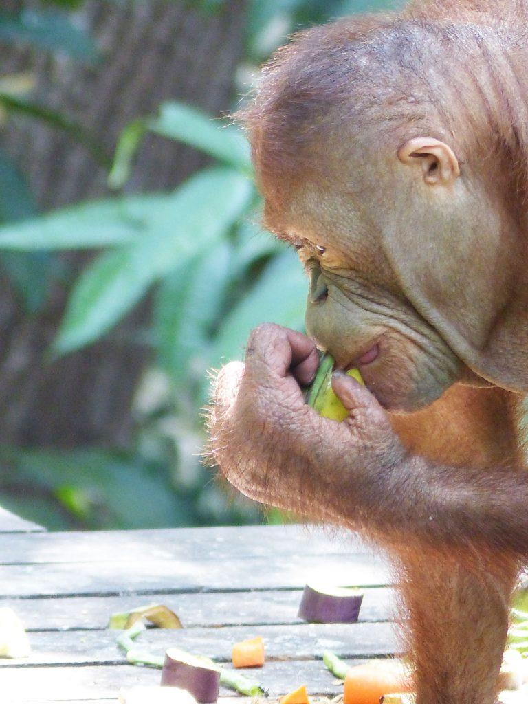 Orang Utan, Sepilok Orangutan Rehabilitation Centre, Borneo