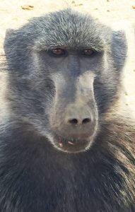 Baboon, N/a'ankuse, Namibia