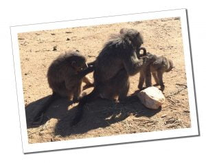 Baboons grooming each other - Naankuse, Wildlife Sanctuary, Namibia