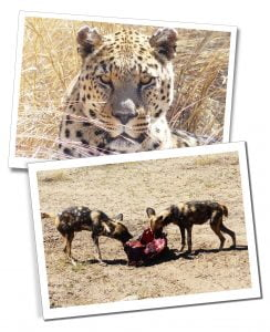 Jaguar and Wild Dogs feeding, at Naankuse, Wildlife Sanctuary, Namibia