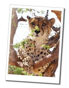 A cheetah in a tree, Solitaire Guest Farm, which is linked to N/a'ankuse
