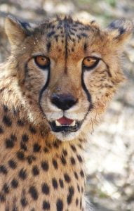 A close up of beautiful Cheetah's face, N/a'ankuse, Namibia, Africa. Volunteering in a Wildlife Sanctuary in Namibia week 2