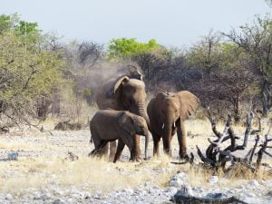 Young Elephants, Estosha National Park, N/a'ankuse, Namibia