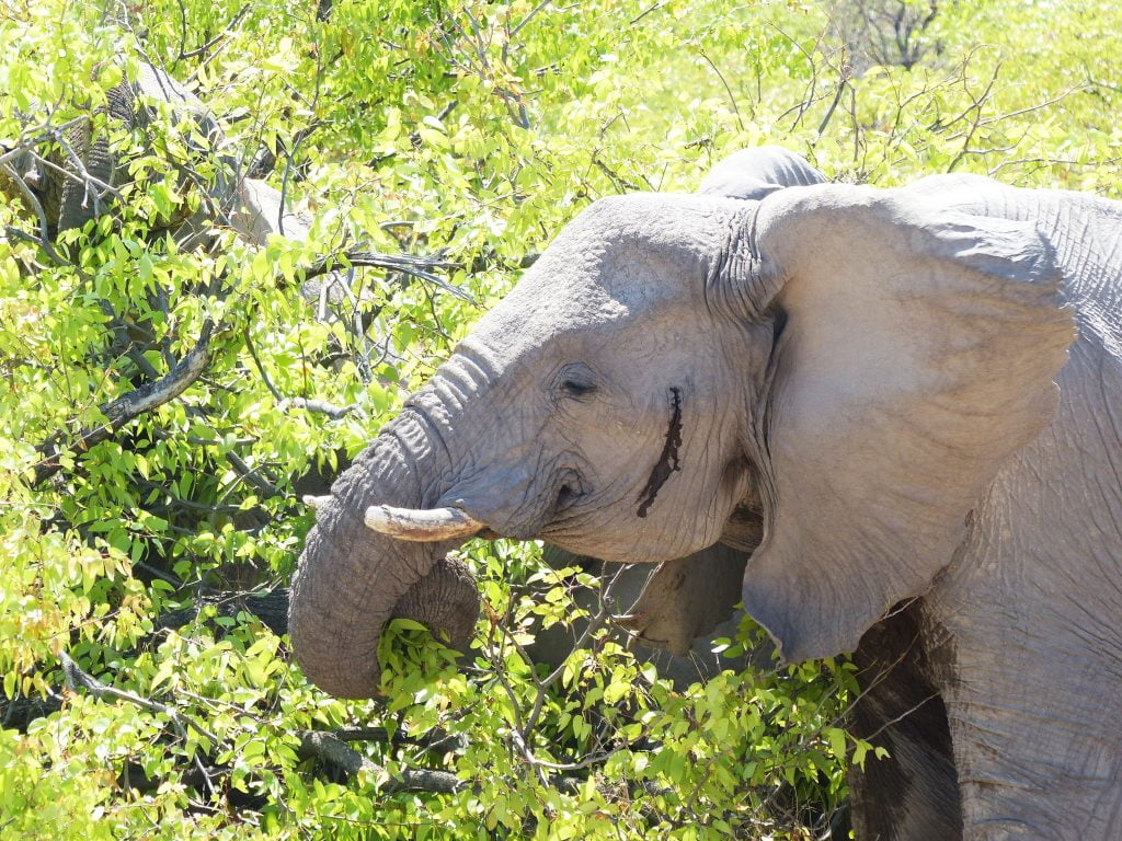 Elephant, Estosha National Park, N/a