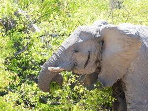 Elephant, Estosha National Park, N/a'ankuse, Namibia