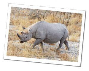 A Rhino in Etosha National Park, Namibia