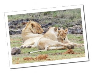 Young lions relaxing in Etosha National Park, Namibia