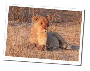 A lion basks in the evening sun at Etosha National Park, Namibia