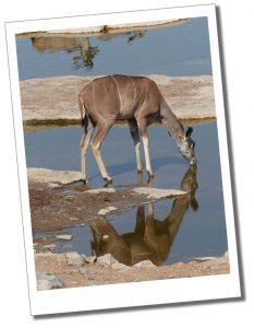 An Impala drinks at the water hole, Etosha National Park, Namibia