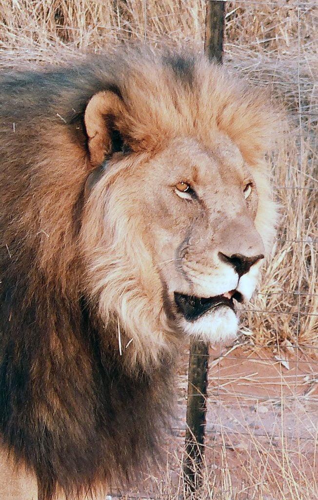 Male Lion, Night Safari, Namibia, Africa