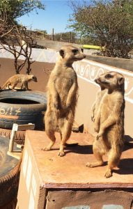 Meerkats, at N/a'an Ku sé Wildlife Sanctuary, Namibia, Africa. Volunteering in a Wildlife Sanctuary in Namibia - Week One