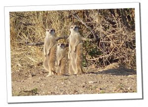 A group of inquisitive Meerkats near Naankuse Wildlife Sanctuary Namibia