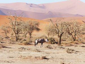 Oryx, Sossusvlei, Namibia