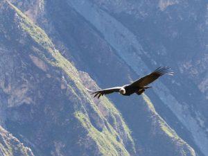 Condor, Colca Canyon, Peru