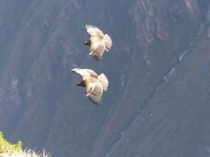 Condors, Colca Canyon, Peru