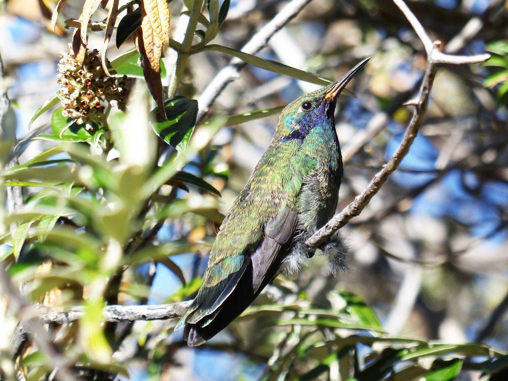 Hummingbird, Lake Titicaca, Peru
