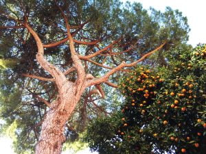 An orange tree, Rome, Italy
