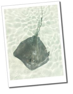 Sting Ray, basks in the shallows, Bahamas