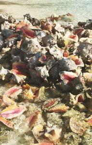 Conch shells, Stocking Island, Exuma