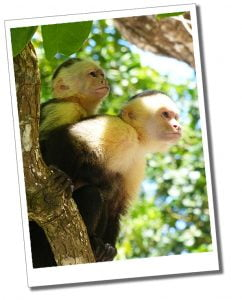 Capuchin Monkeys basking in the sunshine of Manuel Antonio National Park, Costa Rica