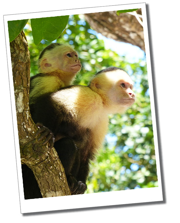 Two cheeky Capuchin Monkees, in the sunny trees of Manuel Antonio National Park, Costa Rica