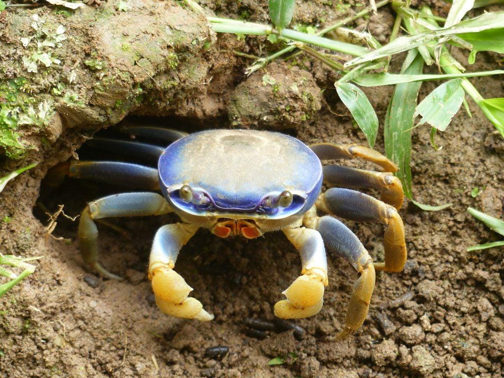 Crab, Costa Rica