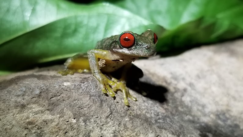 Green frog, Costa Rica