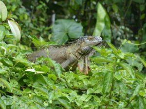 Iguana, Costa Rica