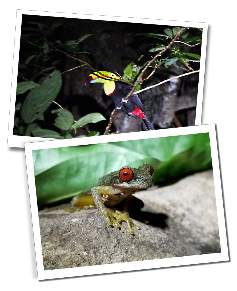 A Night Walk with Kinkajou, seeing Toucans and Frogs, Costa Rica